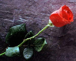 True_Love_Forever2C_Red_Rose
