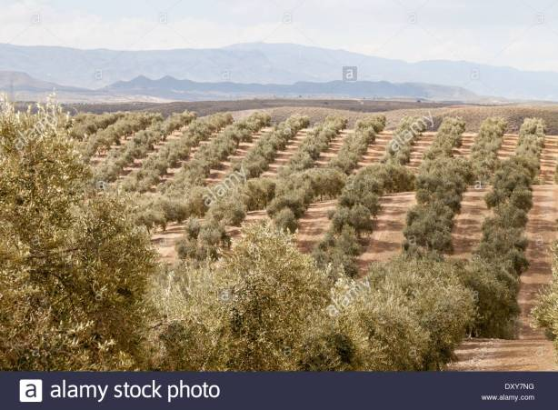 grove-of-olive-trees-on-a-plantation-for-olive-oil-production-almeria-dxy7ng